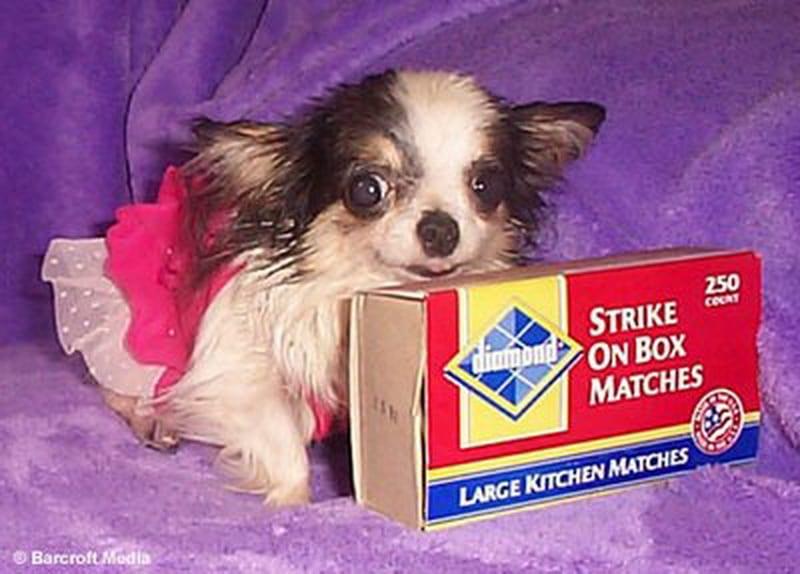 Очаровательный Туди – самая маленькая собачка в мире