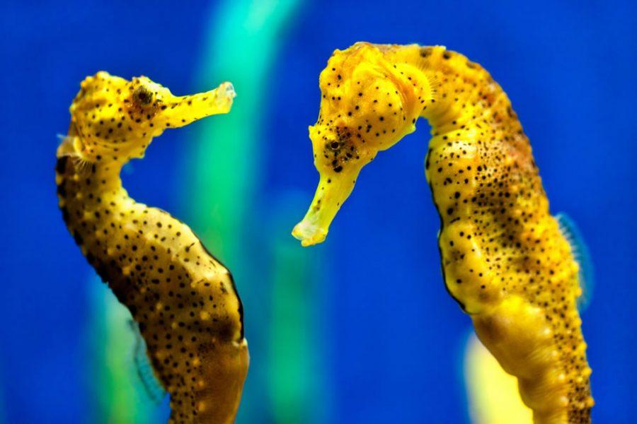 Удивительный мир морских коньков и интересные факты о них