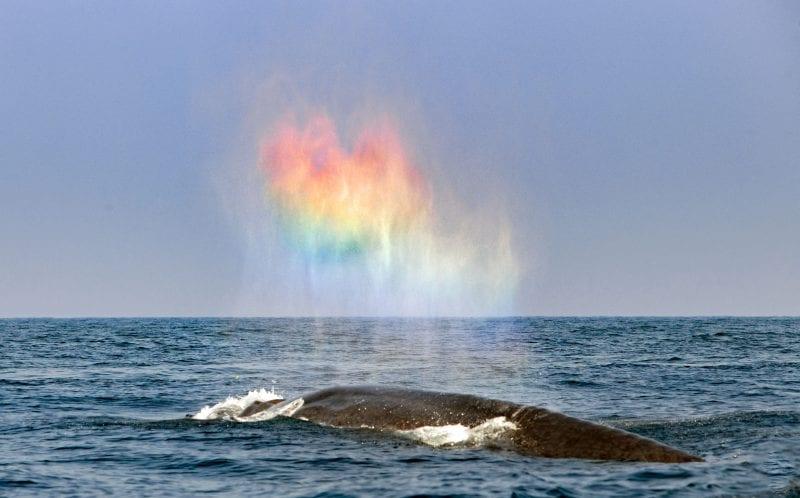 Синий кит вынырнул на поверхность и выдохнул радужное сердце