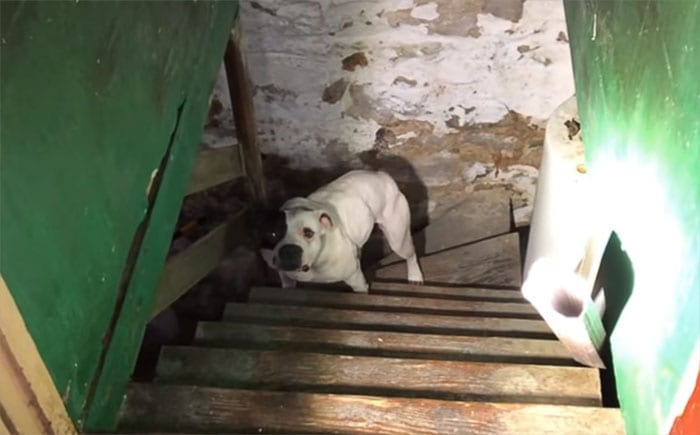 Мужчина купил дом и обнаружил, что в подвале на цепи сидит питбуль