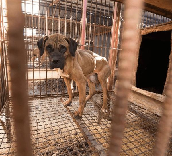 16 собак спасли с фермы, где их в кошмaрных условиях выращивали на мясo