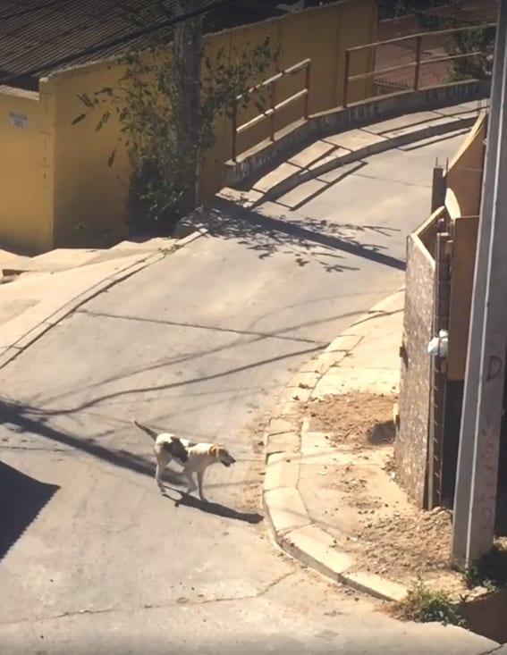 Собака пытается добраться до друга, перепрыгнув через высокий забор
