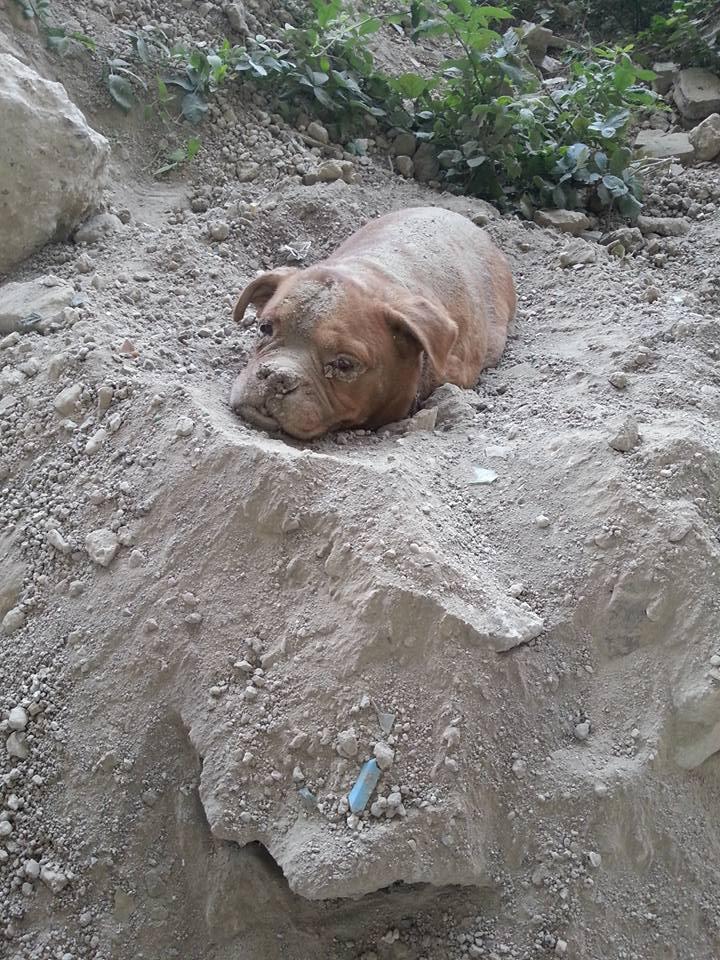 Закопанный живьем дог чудом выжил и нашел любящую семью