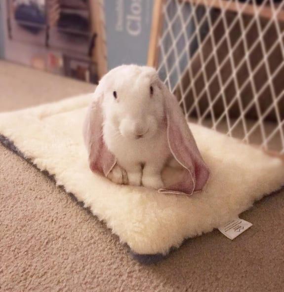 ВИДЕО: Очаровательный кролик лихо управляется с огромными ушами