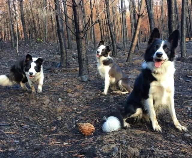 Собаки помогают восстанавливать сгоревший лес