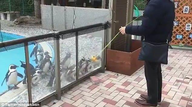 ВИДЕО: Посетитель зоопарка заворожил пингвинов