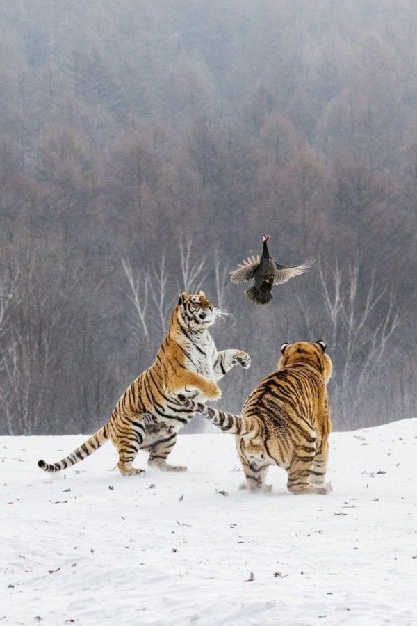 Встреча тигров и цесарки превратилась для всех в веселую игру
