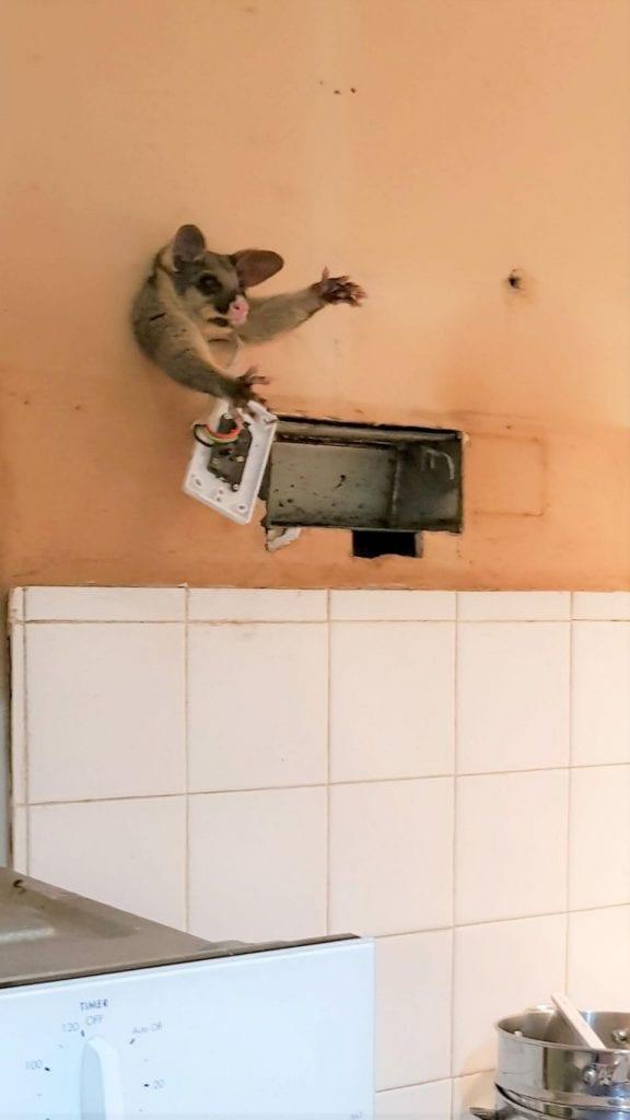 Мужчина пошел ночью попить и обнаружил на кухне опоссума… застрявшего