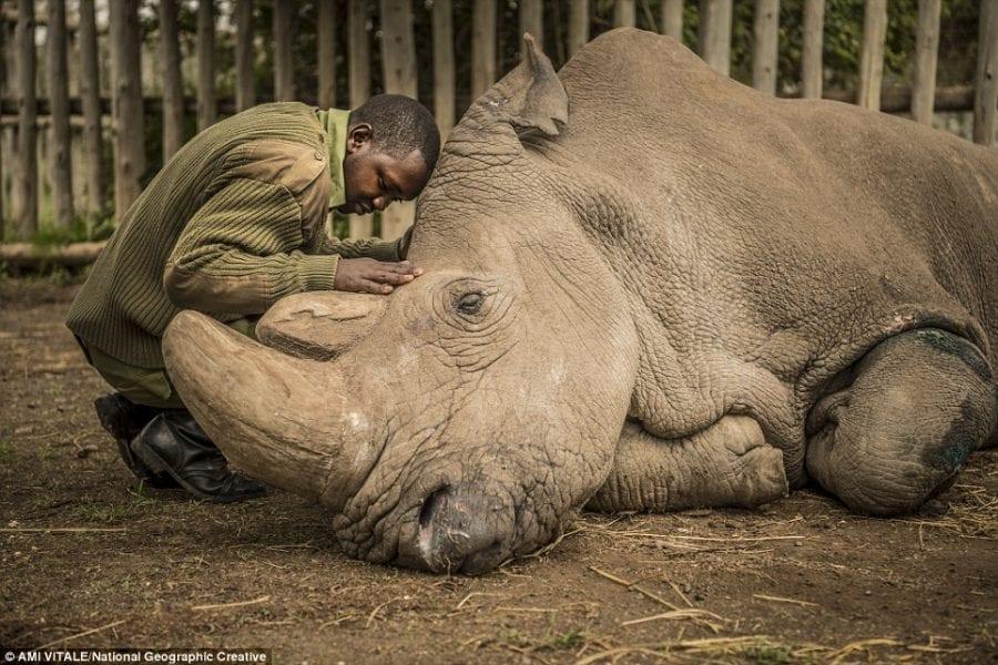 Не стало последнего самца подвида носорогов