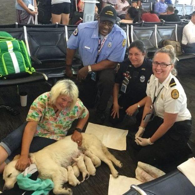 Собака-поводырь родила 8 щенков прямо в аэропорту