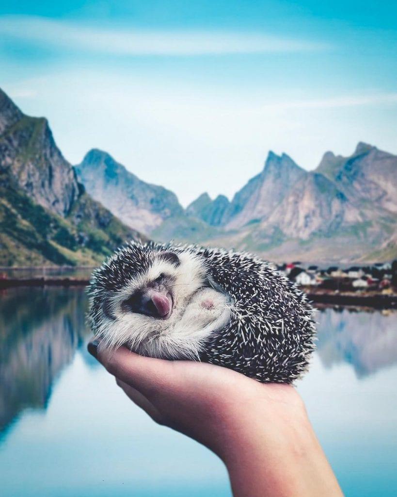 Самый колючий и милый путешественник в мире (16 фото)
