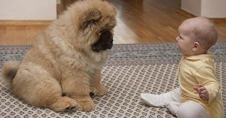 Врач прописал наполовину парализованному малышу чау-чау