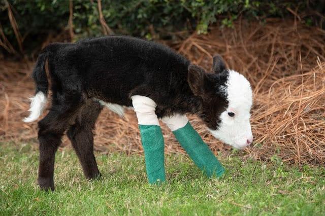 В США родился самый маленький в мире теленок - размером с кошку
