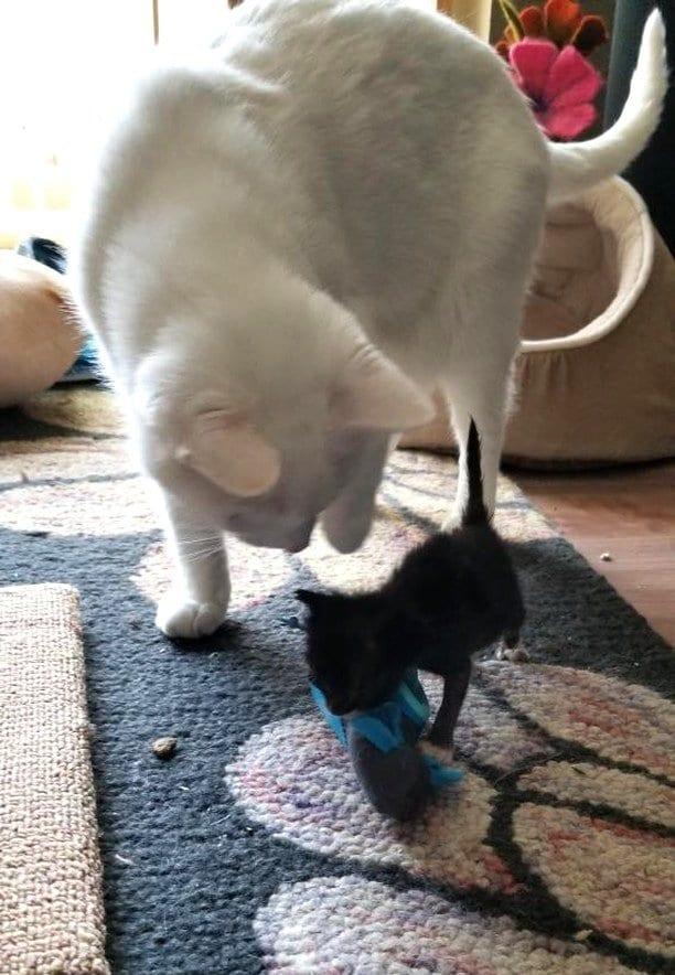 Котенка, который не растет, бросила мать, но усыновил кот