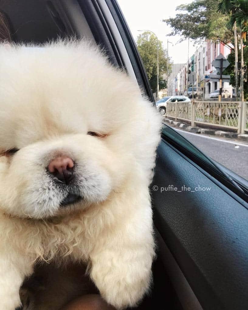 Очаровательный щенок чау-чау покоряет Интернет