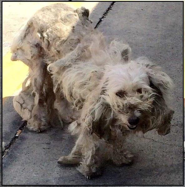 Когда бездомную собаку подстригли, она превратилась в очаровательное существо