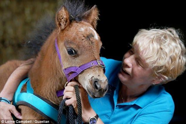 Необычная профессия американской миниатюрной лошади