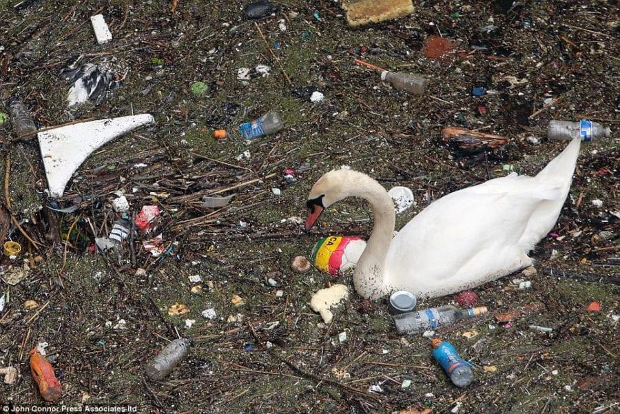 Лебедь пытается найти съедобные остатки в ужасающей куче плавающего мусора