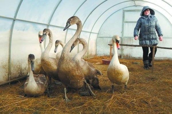 Обычная женщина спасла стаю лебедей от смeрти на морозе