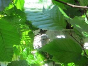 Этот птенец выпал из гнезда и умирал… Но посмотрите, что произошло через 36 дней!