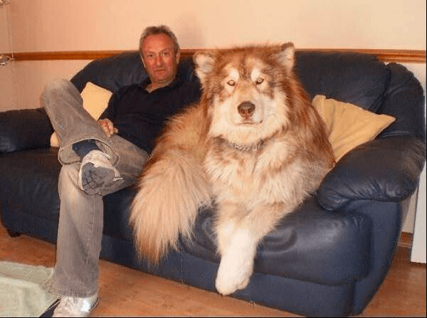 15 гигантских собак, которые не имеют представления, насколько они огромны