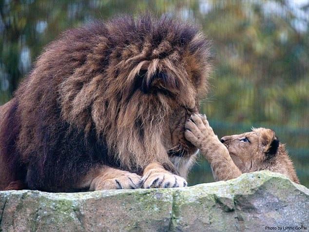 Воспитанием 7-месячного львенка, потерявшего мать, занялся отец