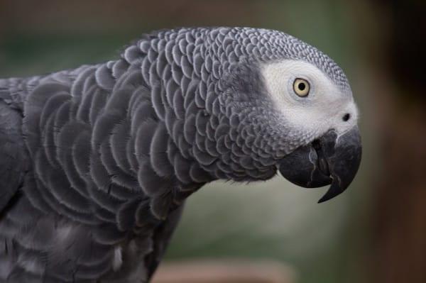 Попугай вернулся к хозяину через 4 года после пропажи... говорящим... по-испански