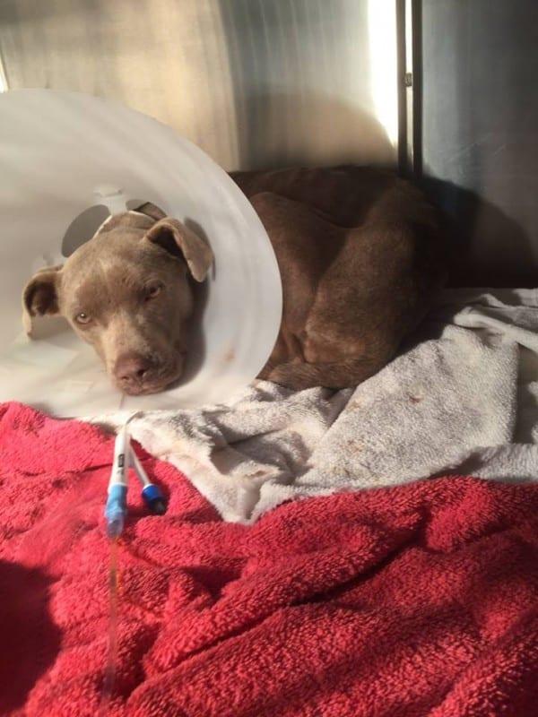 Собаку с выпадением внутренностей вылечил добрый поступок ветеринара