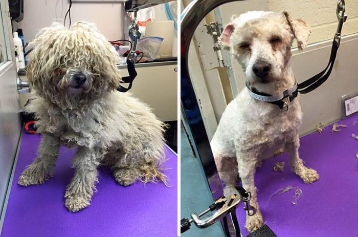 Волонтер делает стрижки старым собакам из приюта, чтобы помочь им найти дом
