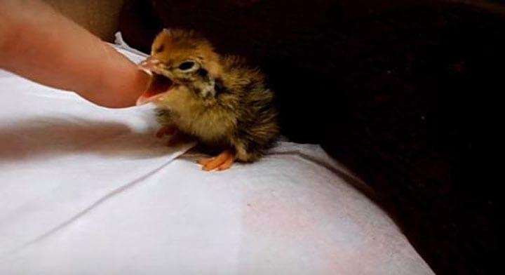 Девушка из любопытства подложила магазинное перепелиное яйцо своей попугаихе