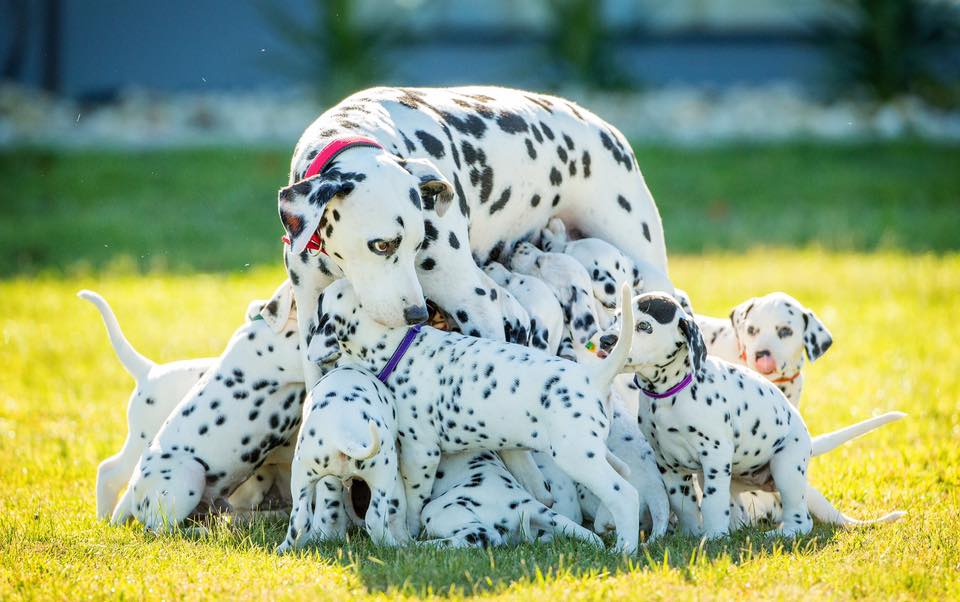 Самка далматина родила рекордное количество щенков (ФОТО + ВИДЕО)