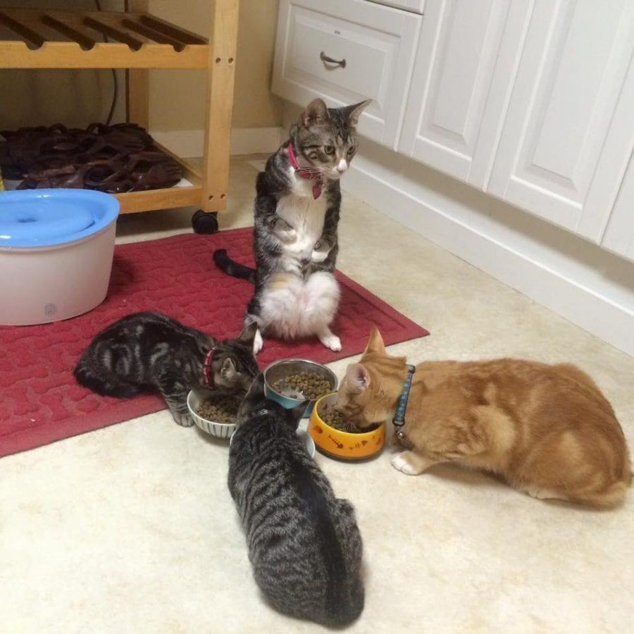 У котенка с дефектом лап, избежавшего эвтаназии, оказалось добрейшее сердце