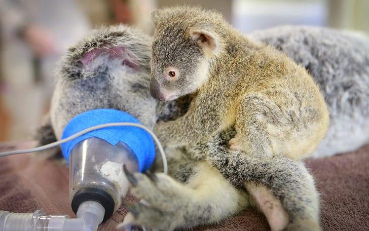 Как детеныш коалы поддерживал маму во время операции (ВИДЕО)