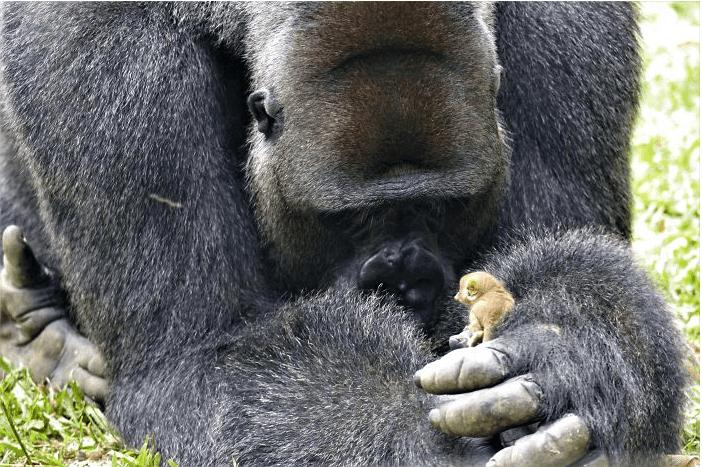 Альфа-самец стаи горилл подружился с крошечным зверьком