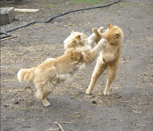 Кошачья драка перессорила весь двор