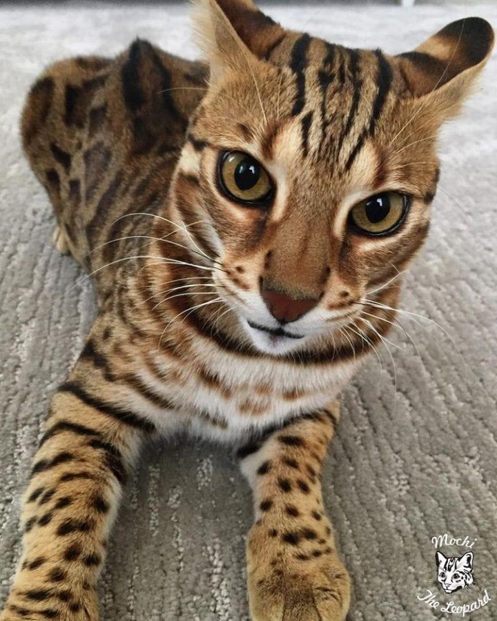 Миниатюрная копия леопарда покоряет Интернет