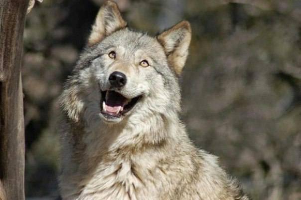 20 фото очень злых и страшных волков... или не очень