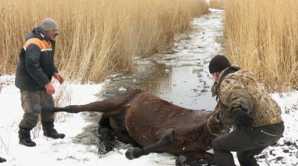 Украденный конь застрял в ледяном болоте, но люди смогли его спасти