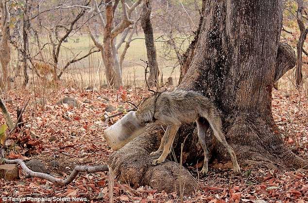 Любители природы фотографировали птичек, как вдруг увидели истощенного волка с банкой на голове