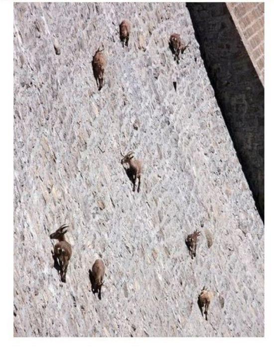 ВИДЕО: Козлы лежат на каменной кладке. Когда камера отъезжает, мы понимаем, что мозг сыграл с нами шутку.