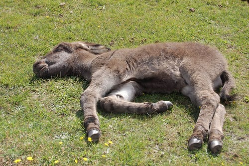 ВИДЕО: Пропавший 2-недельный ослик был найден спящим в необычном месте