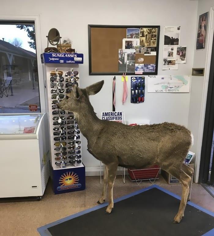 Олениха посетила магазин, а затем устроила продавщице сюрприз