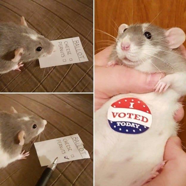 21 фотодоказательство, что крысы – милейшие существа