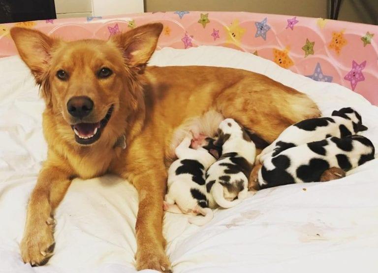 Спасенная самка золотистого ретривера родила четырех... телят