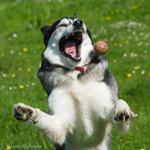 21 фото хаски, который всегда проигрывает... мячику