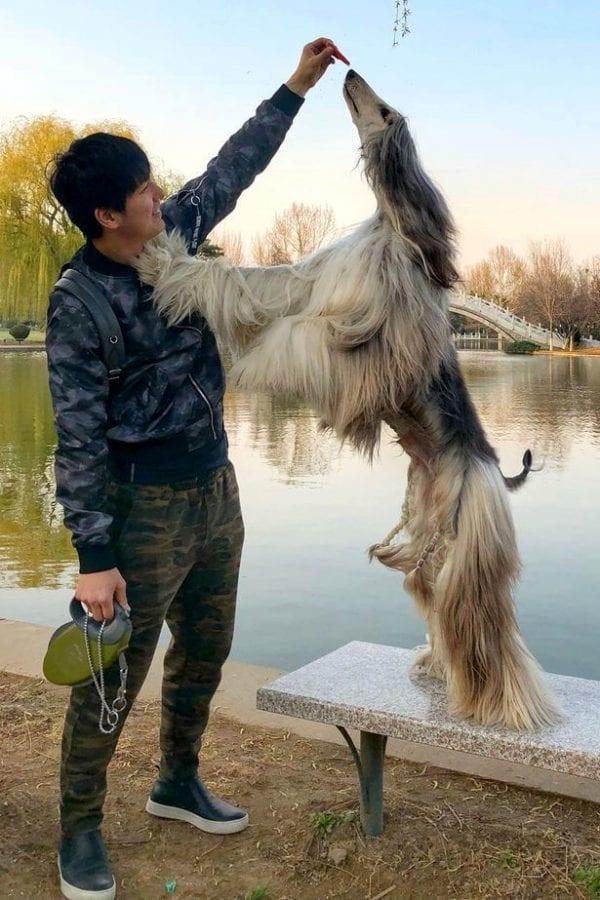 Самая красивая борзая мира живет в Китае