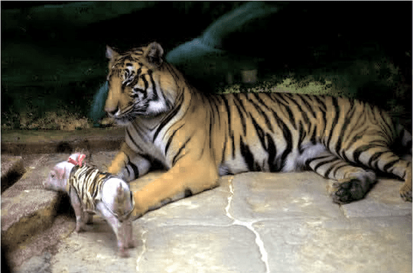 Тигрица потеряла своих тигрят, и ей предложили нянчить... поросят