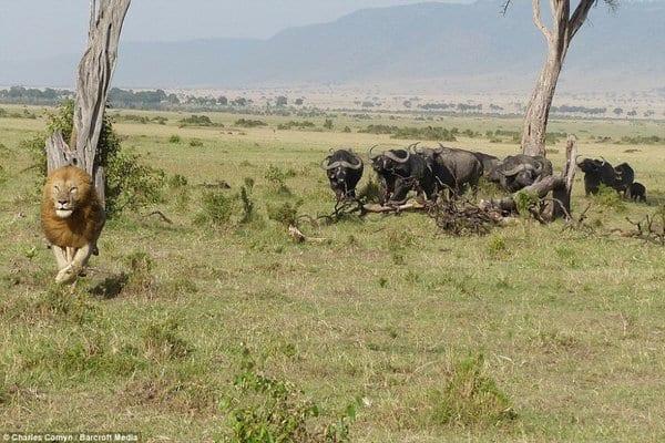 Лев хотел поохотиться на буйвола и горько об этом пожалел