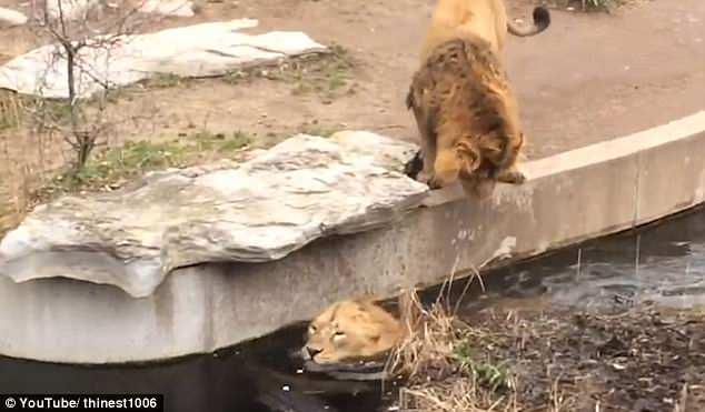 ВИДЕО: Гордый лев подмочил репутацию