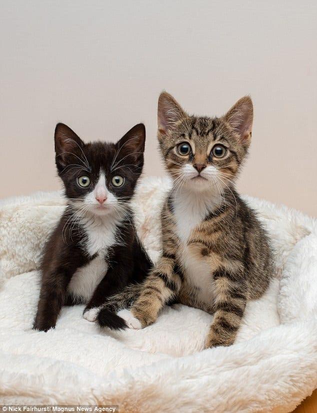 В Англии родились два котенка с редкой генетической аномалией